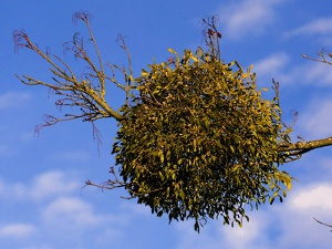 Mistelbusch wächst am Baum